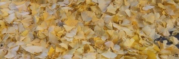 メニエール病の人にすすめたい栄養素:ギンコライド(イチョウ葉)